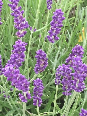 Lavender Farm, Dine & Wine in Prince Edward County (Bus tour from Toronto): Lavender Farm