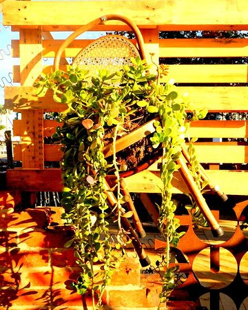 Hanging chairs with plants