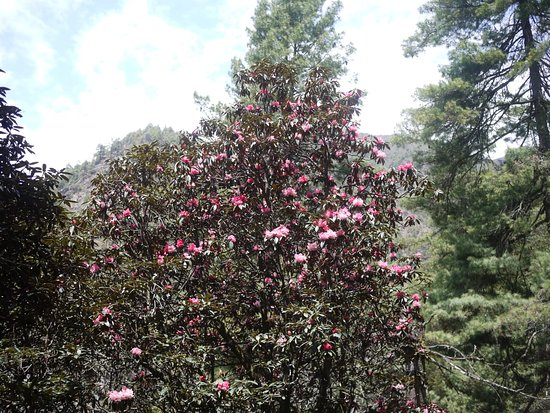 Eve Holidays: Rhododendron on bloom in the Annapurna trek