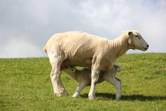 Slesvig-Holsten, Tyskland: Schaf mit Kalb auf dem Deich an der Nordsee.