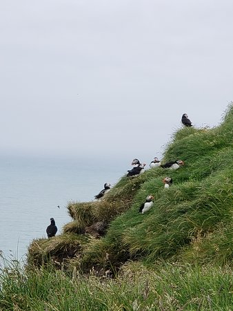 So many puffins, and up close!