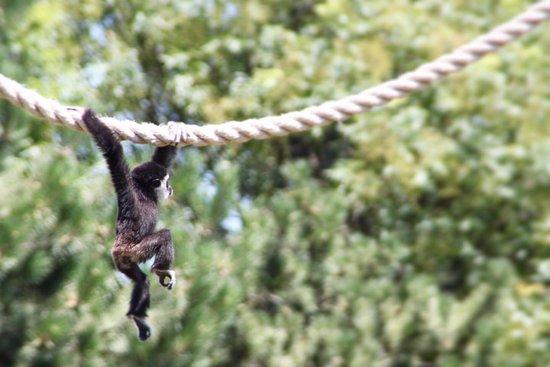 Monkey swinging thought the park - Picture of Tanganyika Wildlife