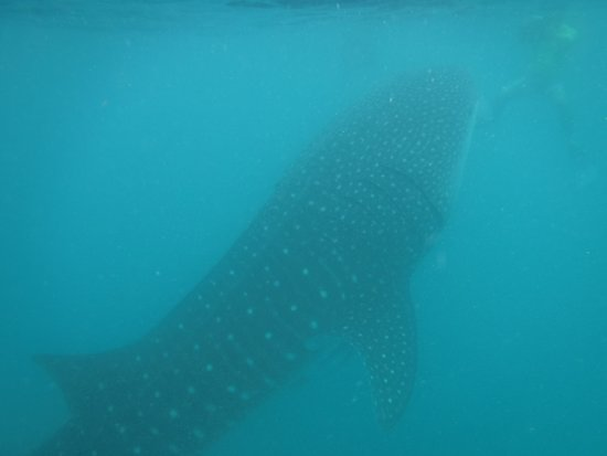 Compare the size of the whale shark to a human being