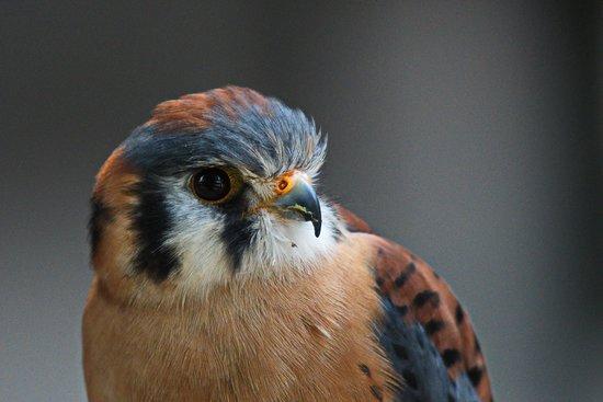 AMERICAN KESTREL (male)