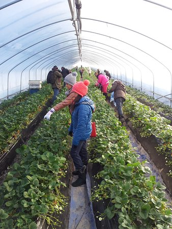 Seoul, Hàn Quốc: Strawberry picking experience