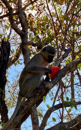 This guy stole a piece of my watermelon and ran up a tree to eat it.