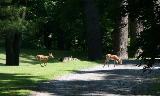 Two fawns cross a path at the Clermont State Historical Site near Germantown, NY.