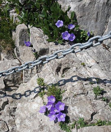 Esino Lario, Italia: Campanula Raineri Perpenti detta anche Campanula dell'arciduca, cresciuta su un tratto attrezzato che porta sulla Grigna Settentrionale (Luglio 2019)