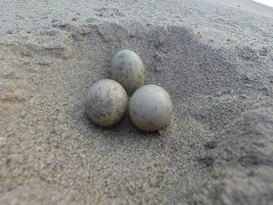 Регион Укаяли, Перу: Le sterne non hanno nido, le uova sono appoggiate sulla sabbia ma sono talmente ben mimetizzate che vederle è difficile. Mentre mi appresto a cercare gli adulti innervositi mi attaccano dall'alto, servono dei bastoni in mano per tenerli lontani, ma i piccoli uccellini sono davvero teneri, e il tramonto lungo il fiume mentre ritorno al Lodge è stupendo