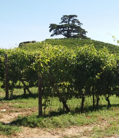 Un cedro del Libano tra i vigneti del Piemonte