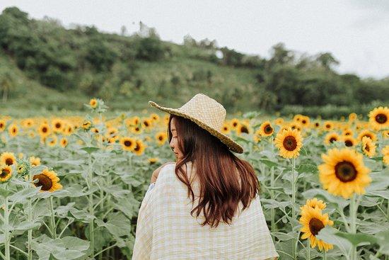 Tupi, ฟิลิปปินส์: sunflowers everywhere