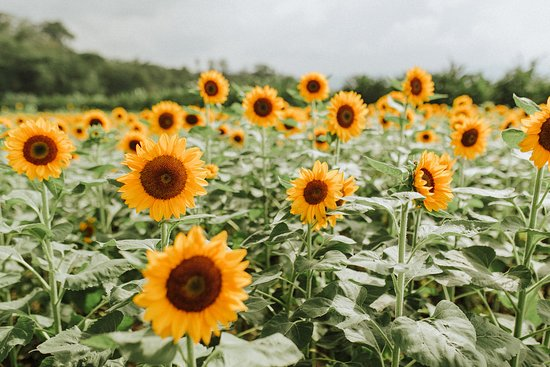 Tupi, Filipinas: there will always be a field of sunflowers - this time this certain part of the field was in bloom, but there were other huge fields where they've just planted (and or harvested? im not sure)