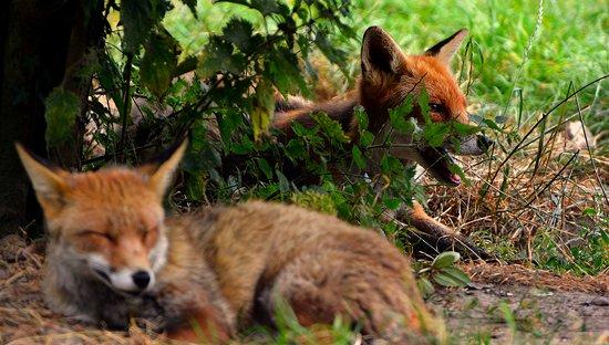 Saint-Julien-de-Mailloc, Francia: Ils sont mignons comme tout ces petits renards !!