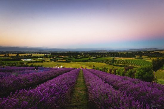 Martinborough Lavender - Ranui Essentials