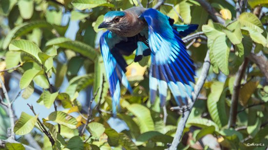 Seoni District, Indie: INDIAN ROLLER