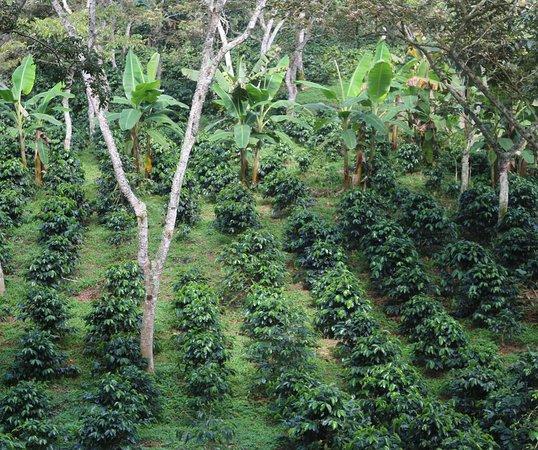 Pinchote, Колумбия: café en producion