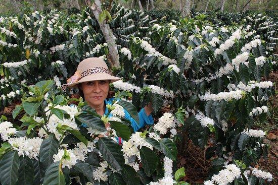Pinchote, Колумбия: Floracion del café