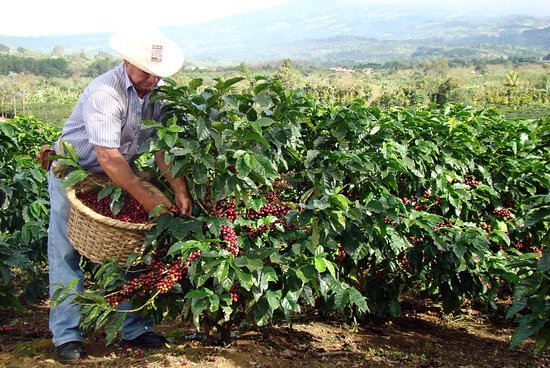Coffee is one of the main cash crops in uganda and in this it has also turned out to be a tourist attraction in kapchorwa #visitkapchorwa with us @africaexquisitetours.com