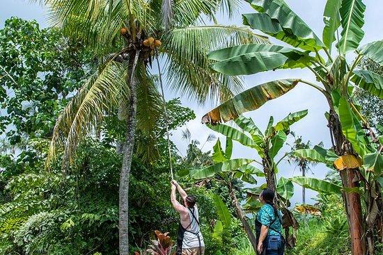 Eventyr til Kubu - utforske - høste...