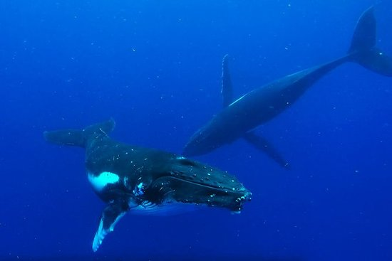 Nuota con le megattere e gli animali