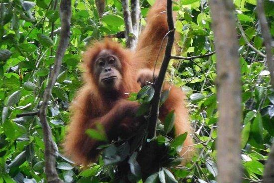 Sumatra Orangutan Discovery