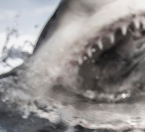 Close-up of bull shark - Picture of Florida Shark Diving