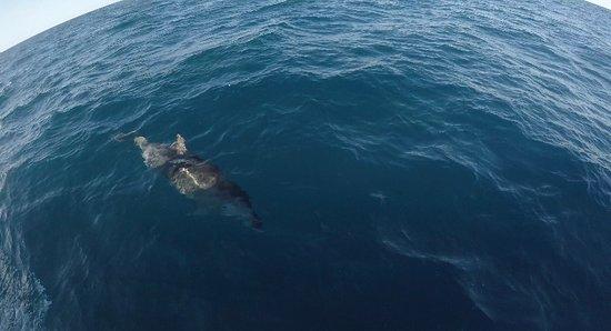 Whale swim Mooloolaba