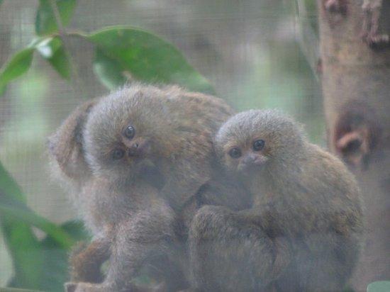 Iquitos. Padre Cocha. Uistitì (pocket monkey) a Pilpintuwasi