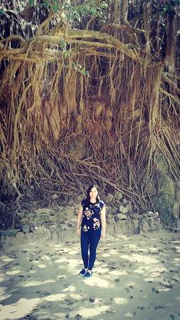 Cascas, Trujillo Arbol de las 1000 raices