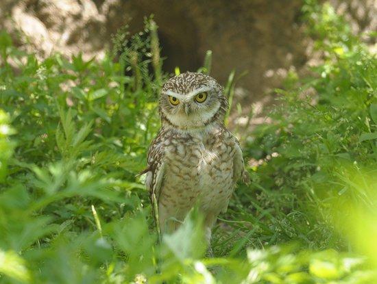 Noichi Zoological Park of Kochi Prefecture: アナホリフクロウ