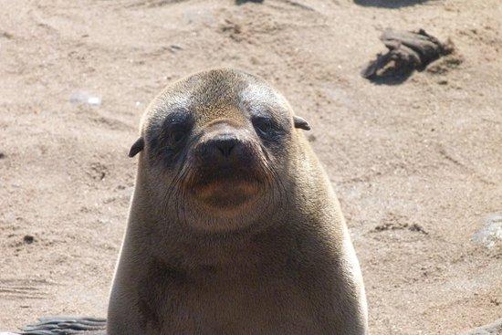 Erongo, Namibië: Il tenero sguardo di una piccola otaria nella colonia di Cape Cross