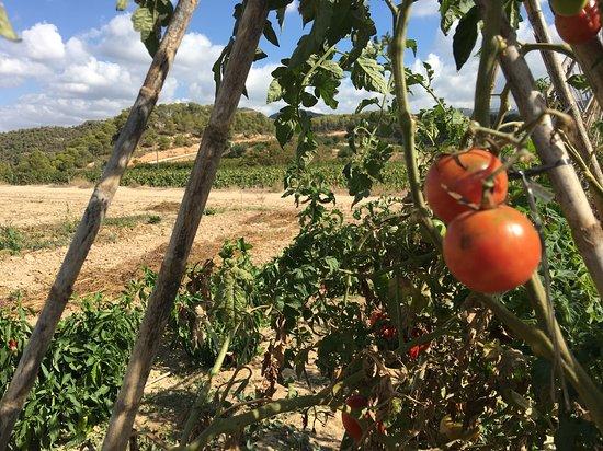 Cabaces, Spanien: Viñedos entre Olivos, melcotoneros, cerezos y bosques mediterráneos hacen esta bodega de Vinos DO Montsant un lugar idóneo para visitar todo el año.