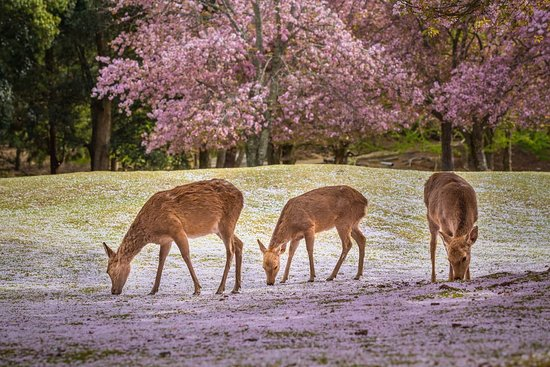 ‪‪Nara Prefecture‬, اليابان: An easy day trip from Kyoto and Osaka, Nara is a history-filled city filled with gorgeous temples, shrines and cute deer. Stay overnight to enjoy peaceful early morning and evening strolls through the World Heritage sites.‬