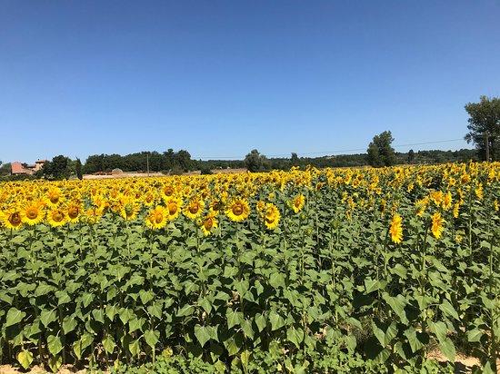Province of Siena, Italia: Campo di girasoli lungo la strada tra San Gimignano e Siena