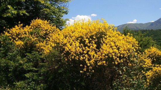 Todiano, Italia: Fioritura delle mimose lungo la strada tra Norcia e prexi