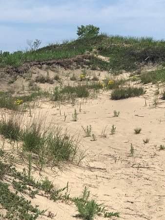 Rear side of a dune (the side away from Lake Michigan) with Trailing Juniper on the sand at bottom.