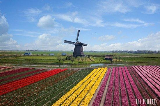 Visite los campos de tulipanes reales...