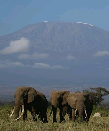 African Elephants in Amboseli National Park, with Mount Kilimanjaro forming the background. Photo taken by our safari guide J. Kingori and his guests on 29th July 2019.