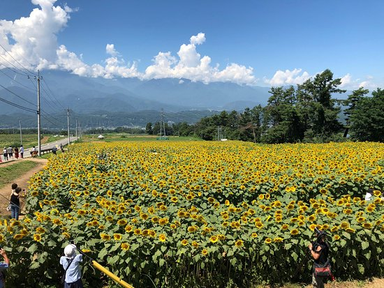 Sunflower field of Akeno