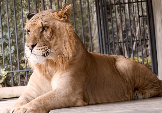 Liger male. One hell of a handsome feline!
