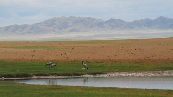 Ulaangom, มองโกเลีย: Demoiselle cranes: Uvs Nuur/ Lake -  a region of exceptional birdwatching possibilities.