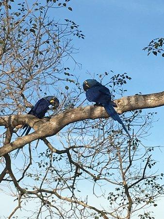 blu aranas