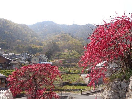 麓の紅梅も美しいです。