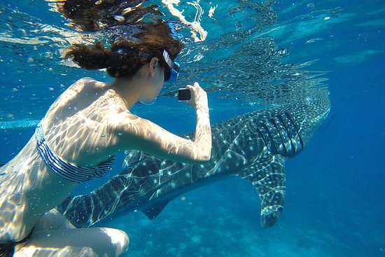 【Snorkeling】Whale shark Encounter and...