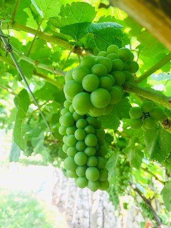 Hrozny Pinot Grigia jsou ready na sklizeň!