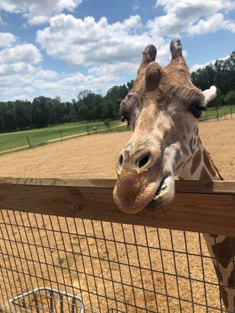 Skylar Grace at the Giraffe Feeding Experience