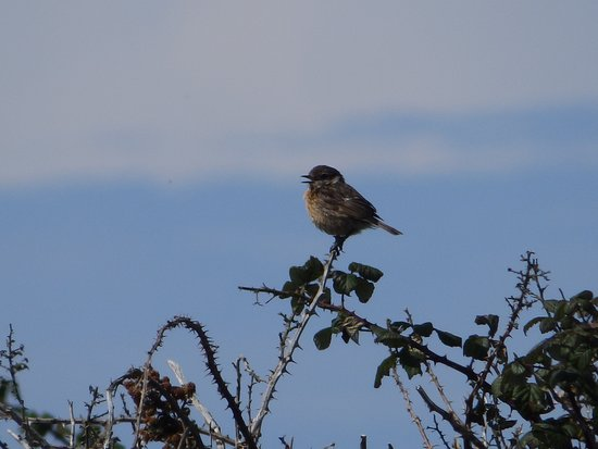 Bride, UK : Stonechat
