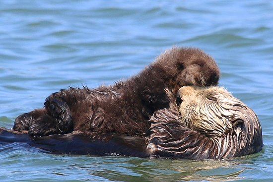 Moss Landing, CA: Sea Otter pups like this fluffy newborn can be seen YEAR ROUND on Elkhorn Slough Safari boat tours!