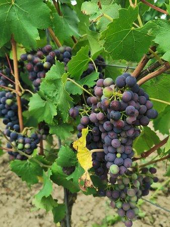 Winnica Turnau: Winogrona, które można skosztować