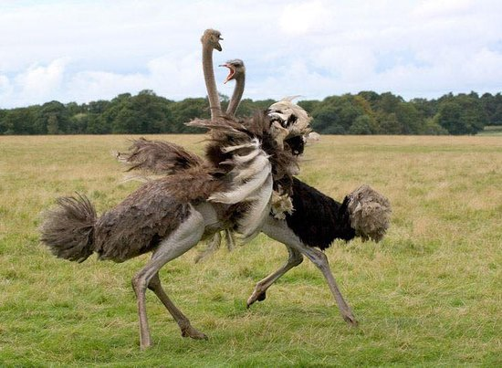 Kidepo Valley National Park, Uganda: The Ostrich also known , a flightless bird is the world's largest bird. In Uganda the Ostrich is only found in Kidepo National Park in the north eastern part of the country and are therefore endemic to Africa and live in the savanna areas of Africa.